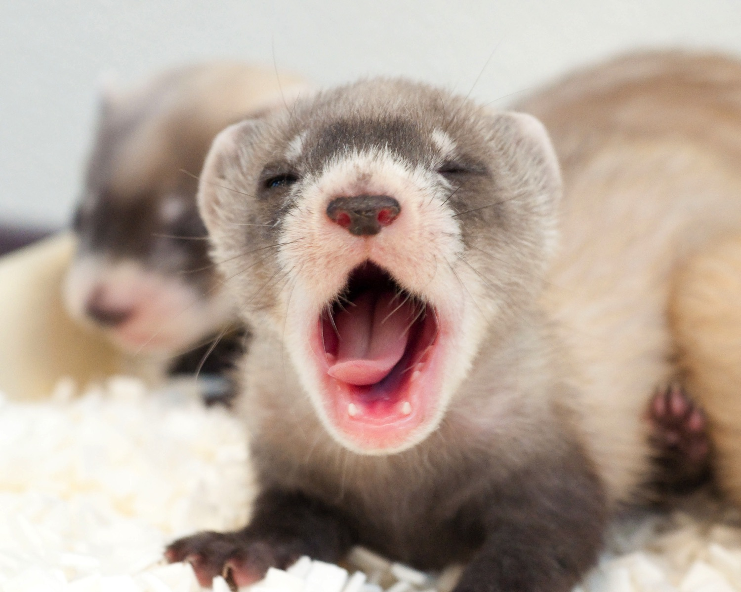 photo:blackfootedferret.org