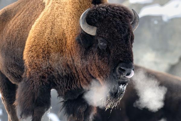Bison Injures Yellowstone Visitor