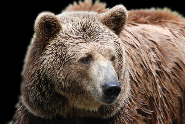 Third Grizzly Attack In GYE