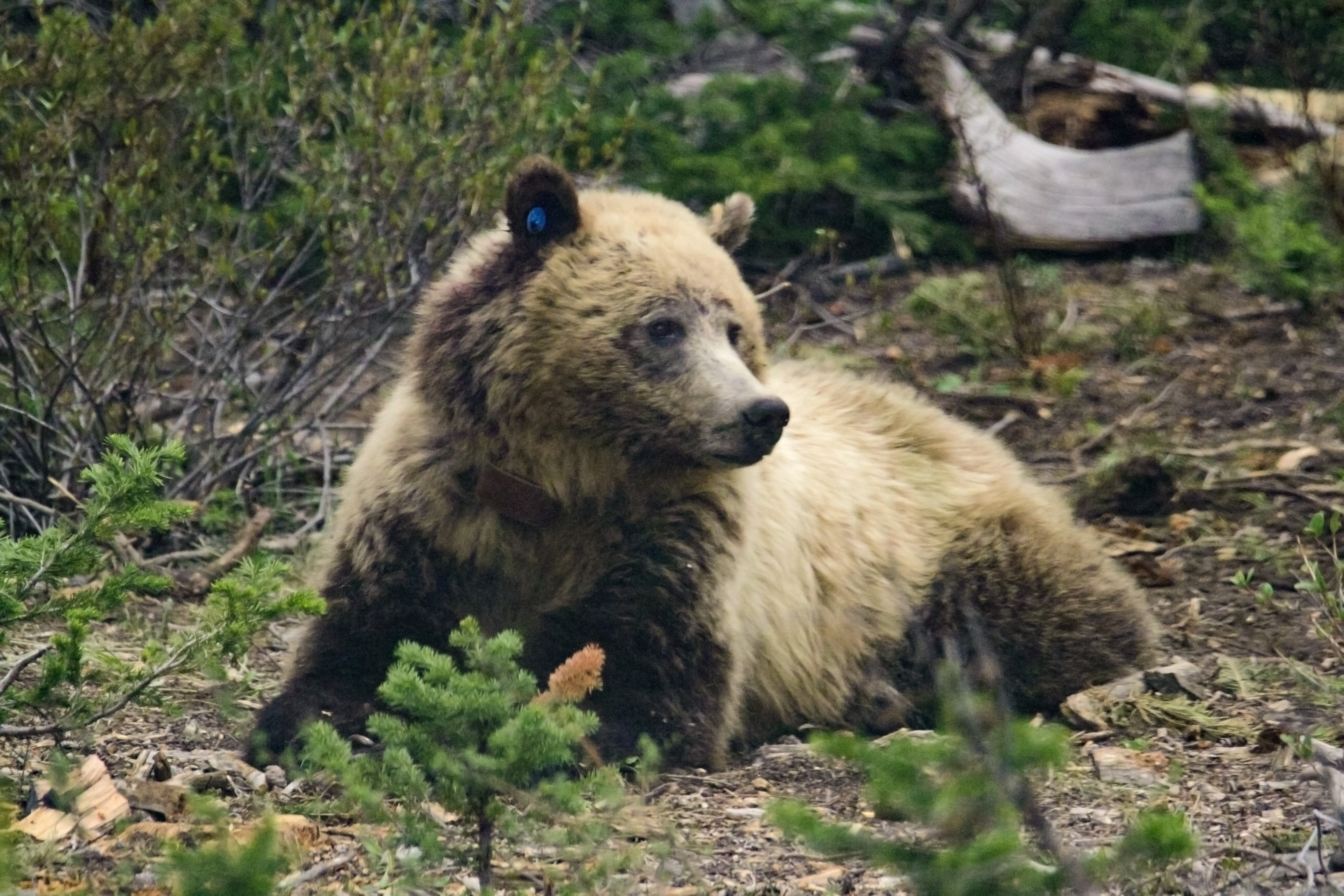 Grizzlies To Be Trapped