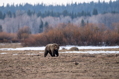 Grizzly Injures Man Near Dubois